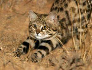 Купить африканского дикого кота черноногая кошка