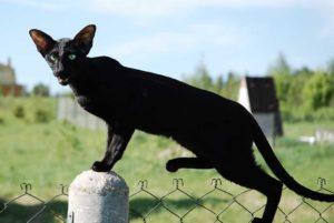 ориентальная черная кошка