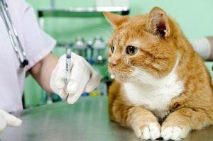 рыжему коту ставят прививку