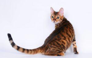 тойгер кошка оглядывается