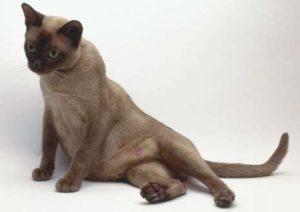беременная кошка сидит