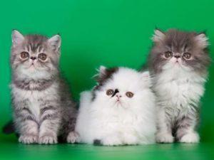 котята породы экзотик