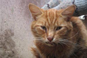 рыжий кот больной кальцивирозом