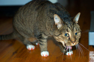 у кошки начинается рвота