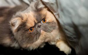 экзотический кот выглядывает