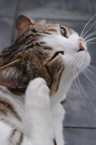Может чесотка передаться от кота к