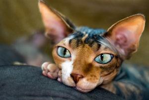 кошка сфинкс лежит