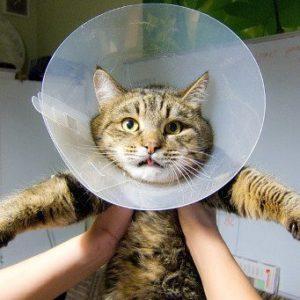 кошка после стерилизации в воротнике