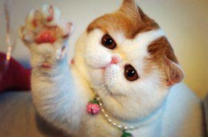 кошка экзот протягивает лапу