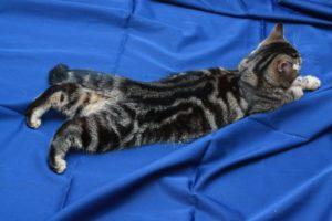 кошка в период течки