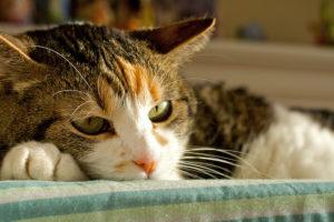 гепатит у кота