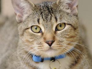 кот в синем ошейнике