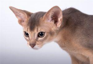 абиссинская кошка серебристого окраса