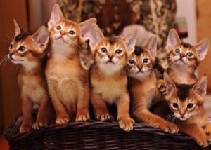 котята абиссинской породы