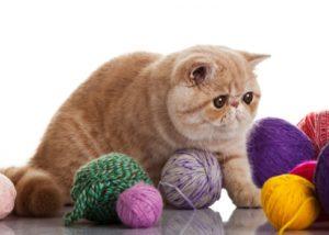 экзотическая короткошерстная кошка играет с клубками
