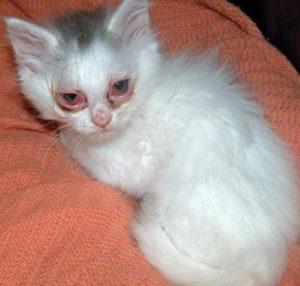 микоплазмоз у котенка