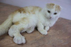 остеохондродисплазия шотландских вислоухих кошек
