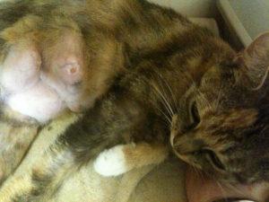 мастит у пушистой кошки