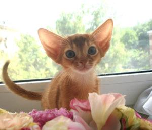 абиссинский котенок и цветы