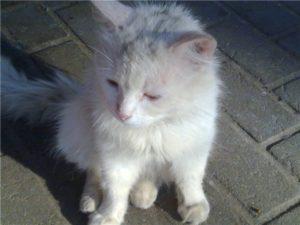 потрепанный белый котенок