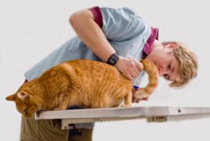 Цистит у кошки лечение