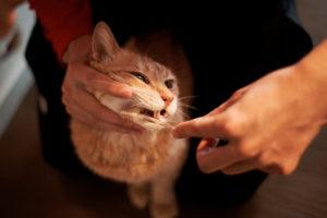 коту чистят зубы