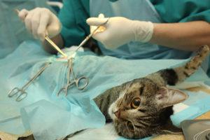 хирургическое удаление почки у кошки