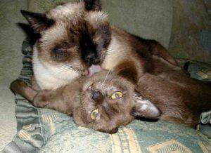 кошки лежат в обнимку