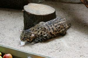 черноногая кошка поймала мышь