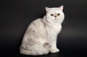 экзотическая кошка серебристого окраса