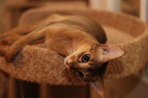абиссинская кошка лежит