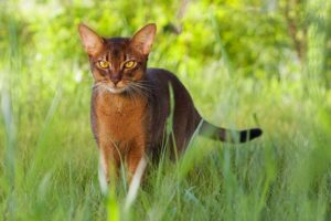 абиссинская кошка в траве