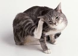 кот чешет ухо