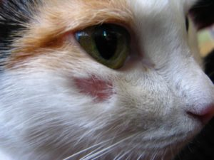 Как лечить лишай у кошек в домашних условиях - народные