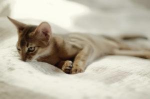 абиссинская кошка лежит на постели