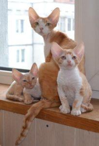 кошка и котята корниш рекс