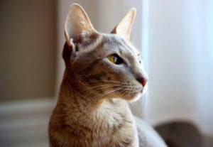 ориентальная кошка смотрит в сторону
