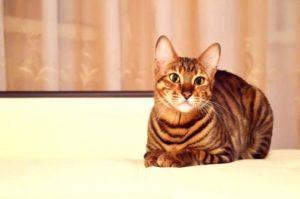 тойгер кошка лежит на кровати