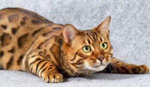 бенгальская кошка лежит и смотрит наверх
