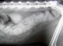 снимок запора у кошки