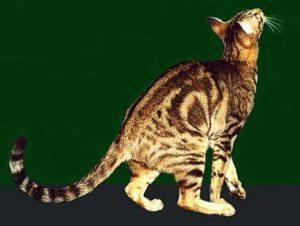 ориентальная кошка с мраморным окрасом