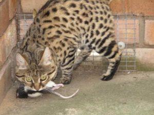 черноногая кошка поймала добычу