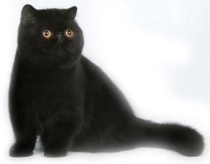 экзотическая короткошерстная кошка шоколадного окраса