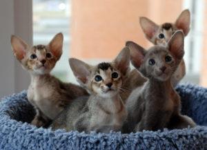 ориентальные котята в лежанке