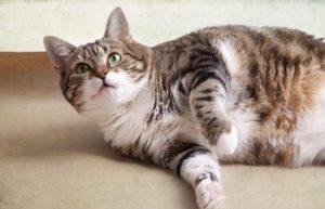 толстый кот лежит