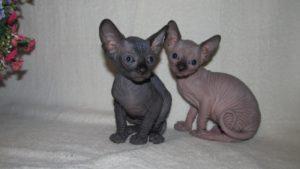 два котенка канадского сфинкса