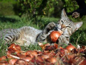 лук от глистов для кошек