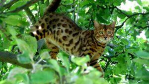 бенгальская кошка лазает на дереве