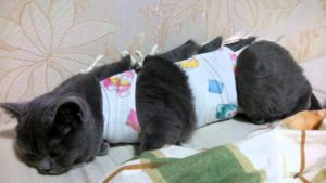 серая кошка после стерилизации