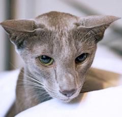 ориентальная дымчатая кошка
